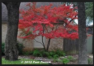 Blushing Maple Tree